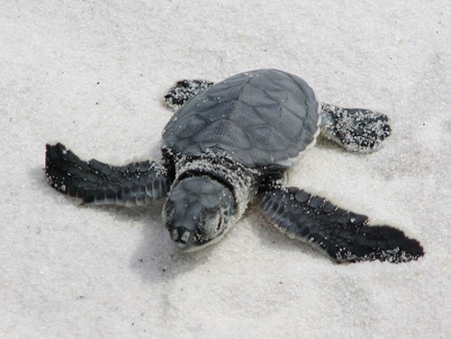 070426112340_Baby_Sea_Turtle_LG.jpg