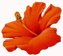 20111009-Hibiscus-1.jpg